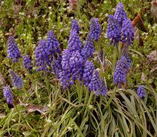 Surprising grape hyacinths!