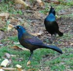 Herkle & Jerkle Grackle