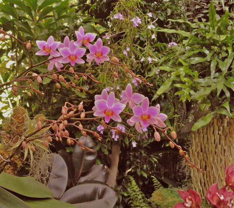 Missouri Botanical Garden - Orchids