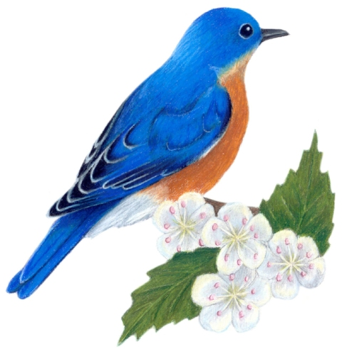 MISSOURI STATE BIRD AND FLOWER