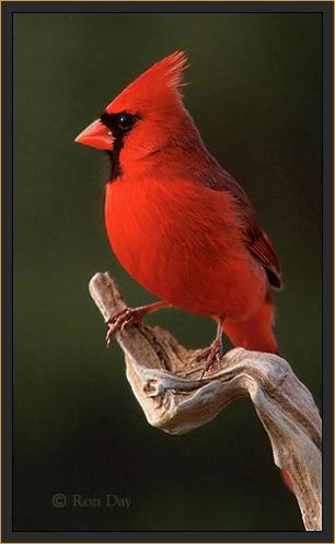 Northern-Cardinal-male-R