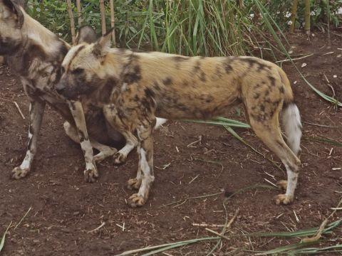 AfricanPaintedDog