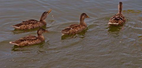 Four Little Ducks