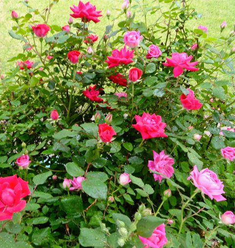 RosesInTheRain2