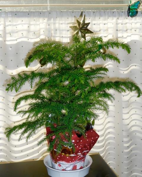 Norfolk Island Pine 2