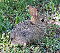 250px-Rabbit_in_montana